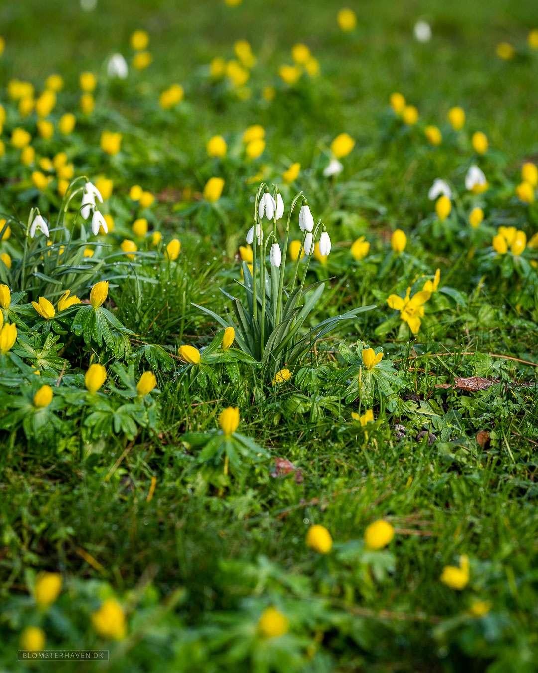 erantis og vintergækker blomstrer