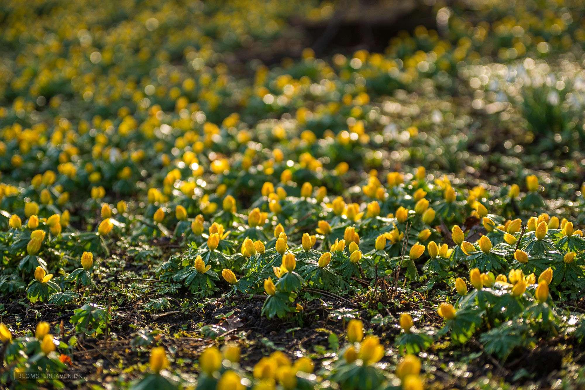 smukke gule blomster af erantis