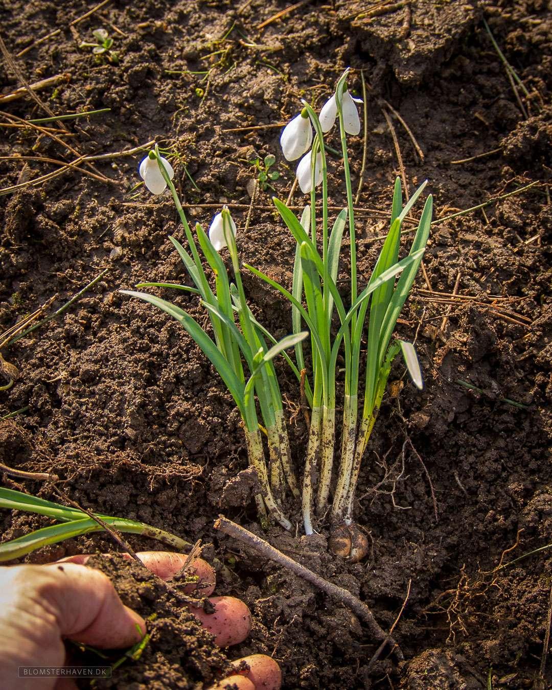genplantning af vintergækker