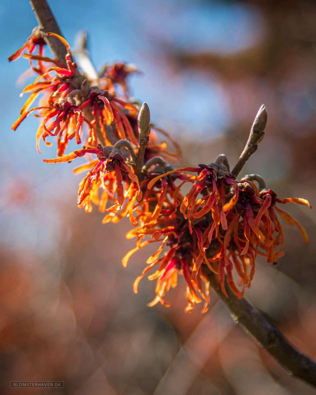 hamamelis i blomst med orange blosmter