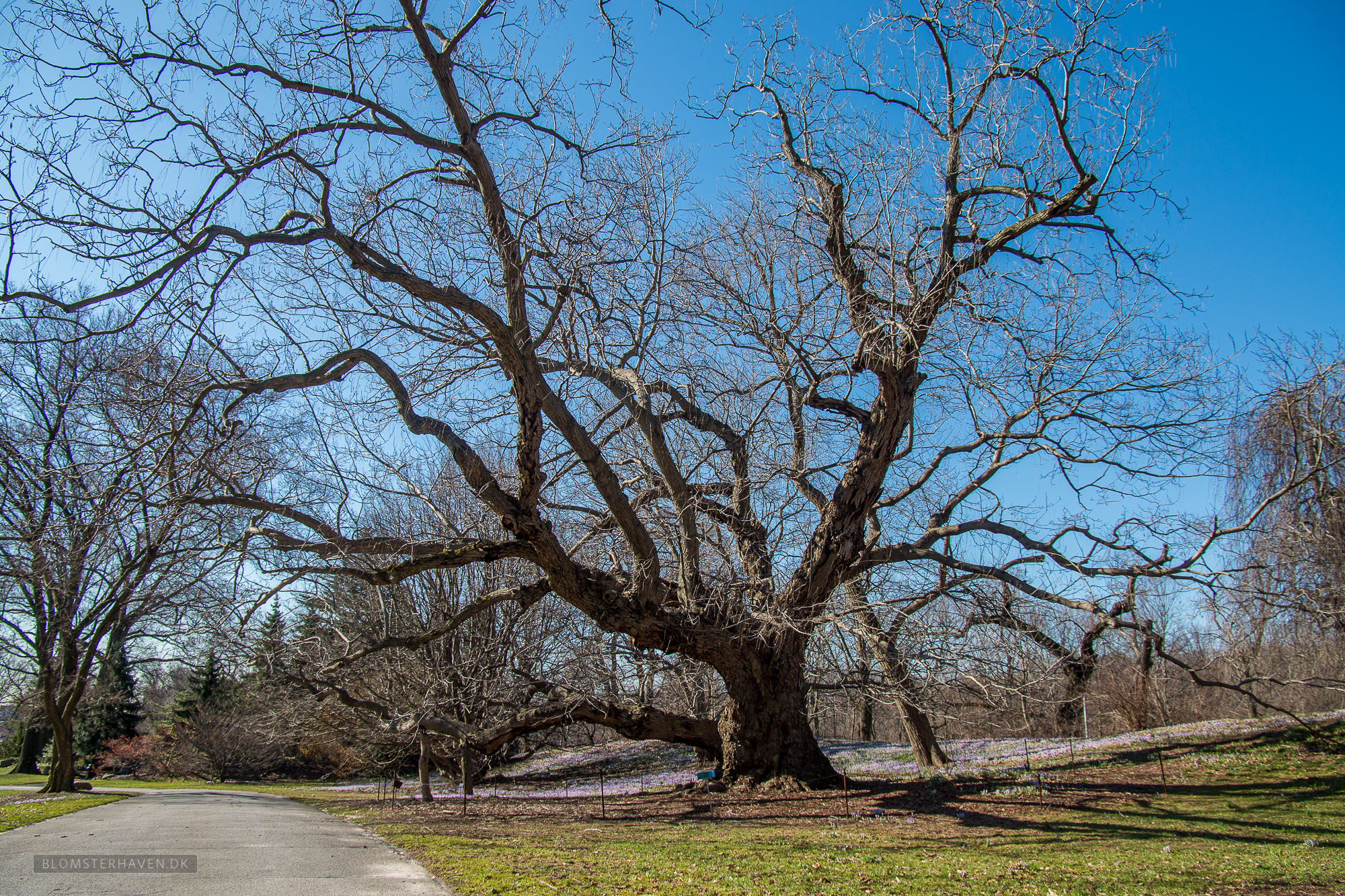 Et stort og gammel træ i Brooklyn Botanic Garden