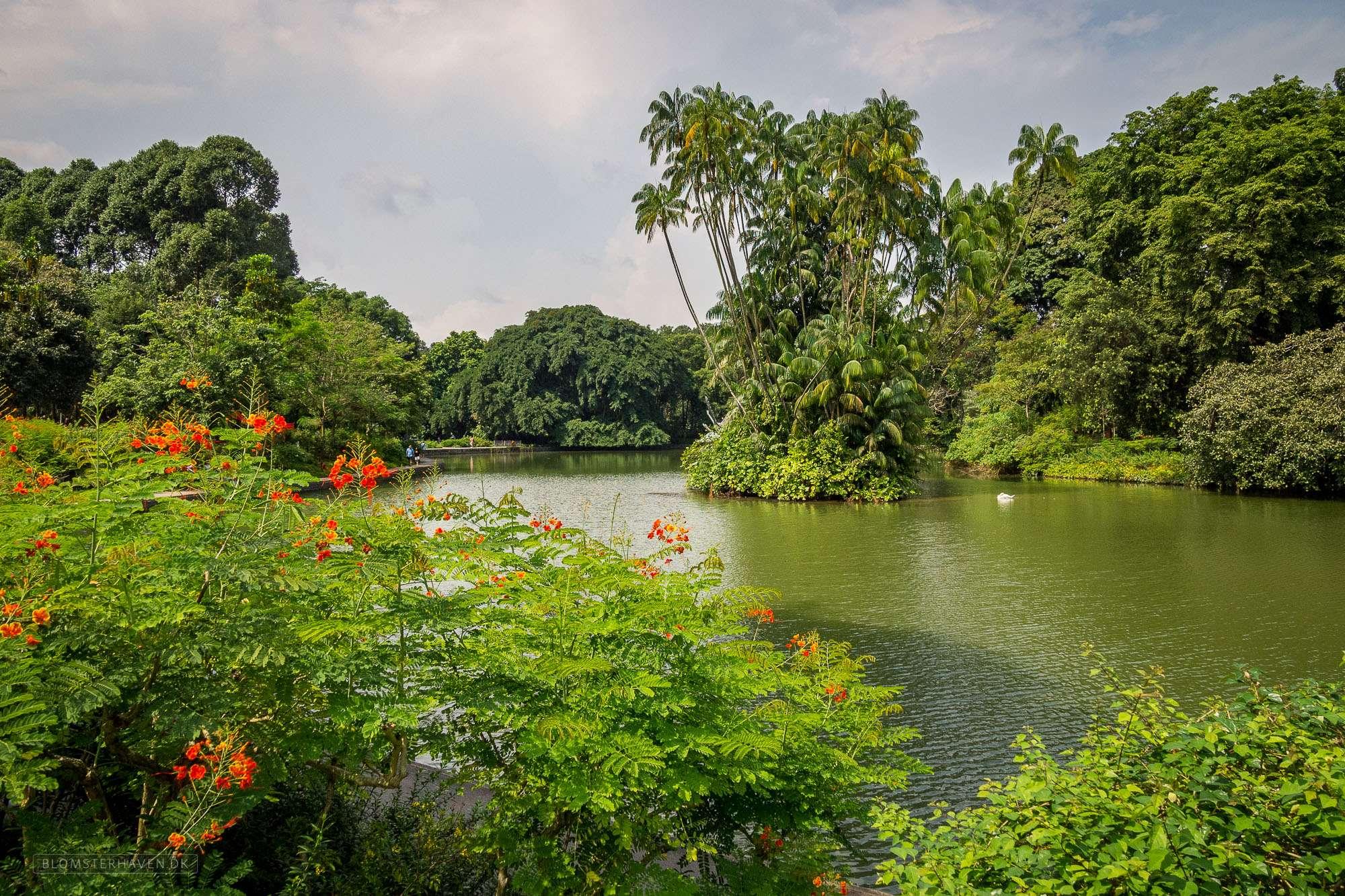 The Swan Lake i Singapore Botanic Gardens