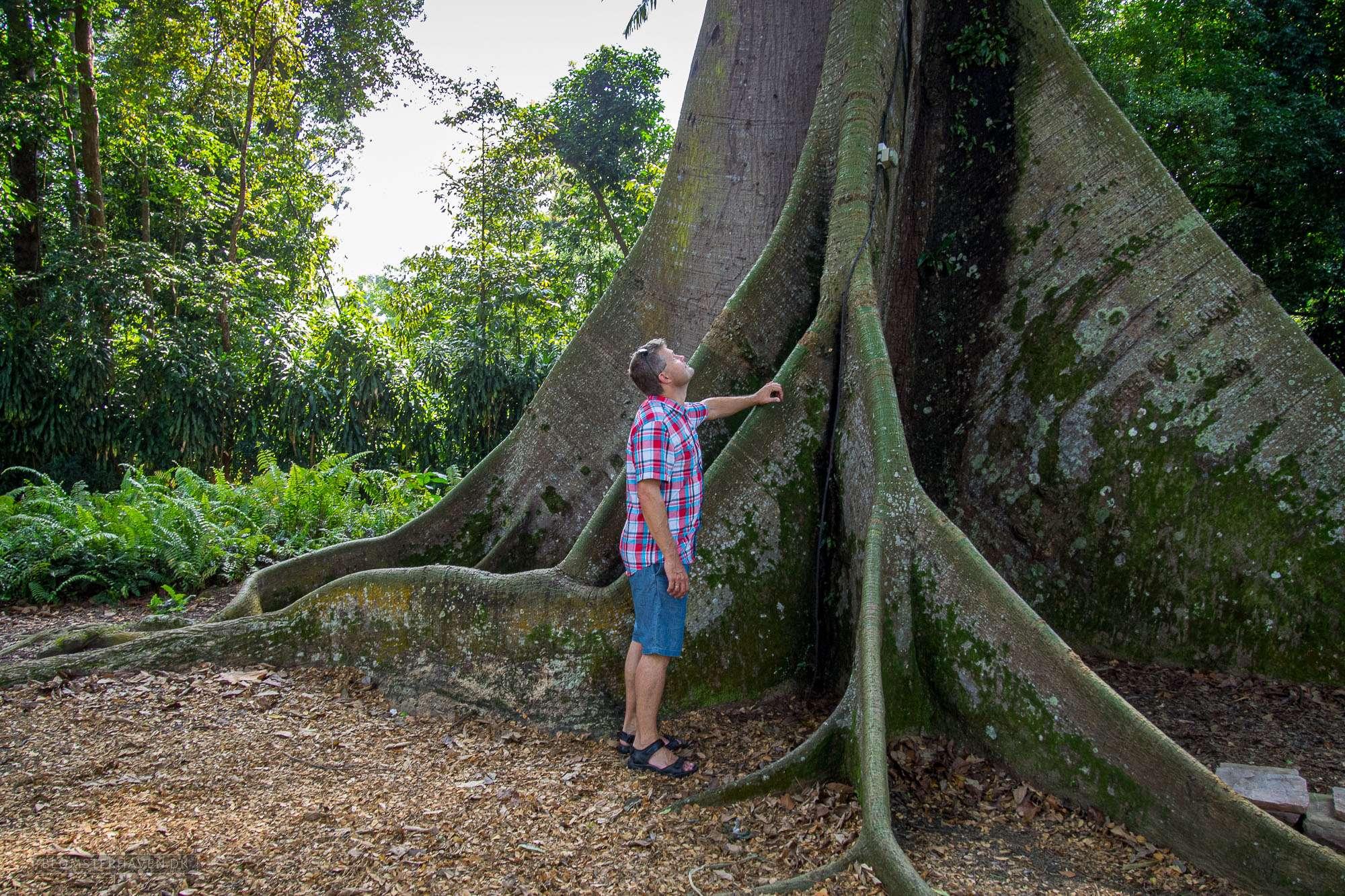 Foden af et enormt højt White Silk-cotton Tree (Ceiba pentandra)