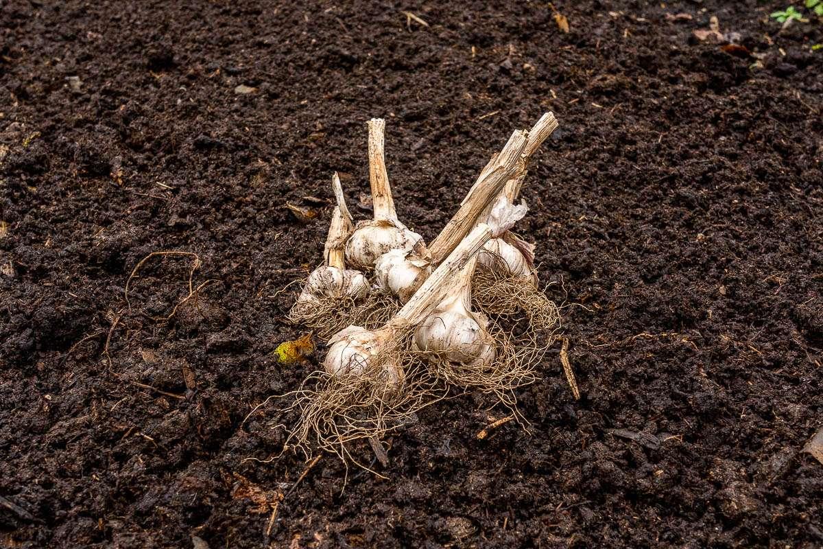Hvidløg klar til at blive delt i fed og plantet