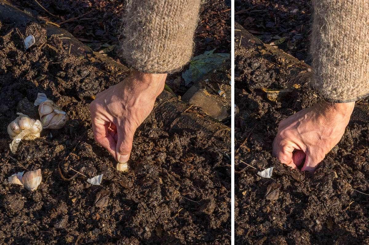 Hvidløg sættes dybt i jorden i oktober