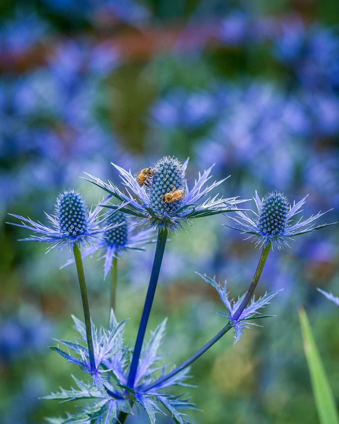 Koboltblå blomster på en alpemandstro får besøg af mange honningbier