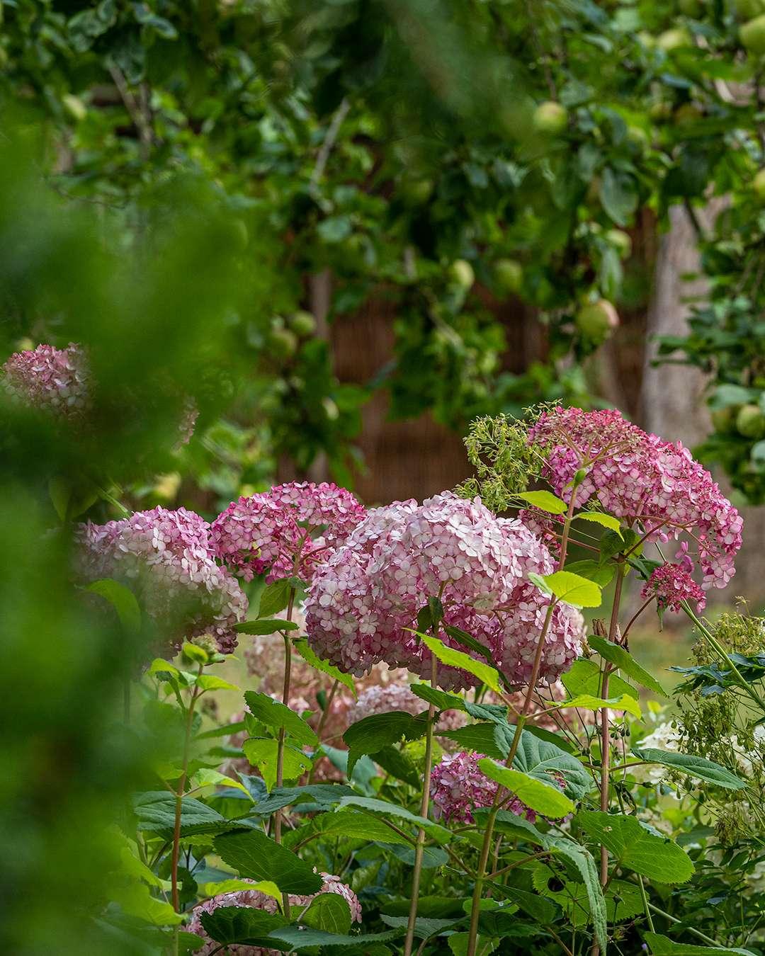 Den smukke havehortensia 'Sweet Annabelle' står med store blomsterstande på stive stængler, og blomstrer hele sommeren