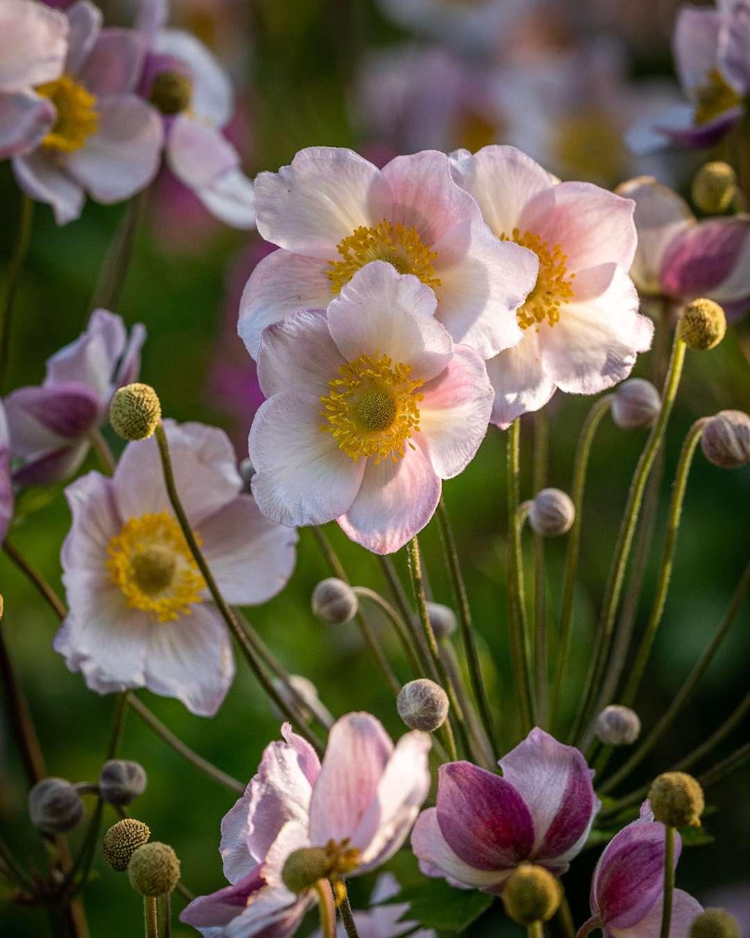 Høstanemonerne har smukke rosafarvede blomster