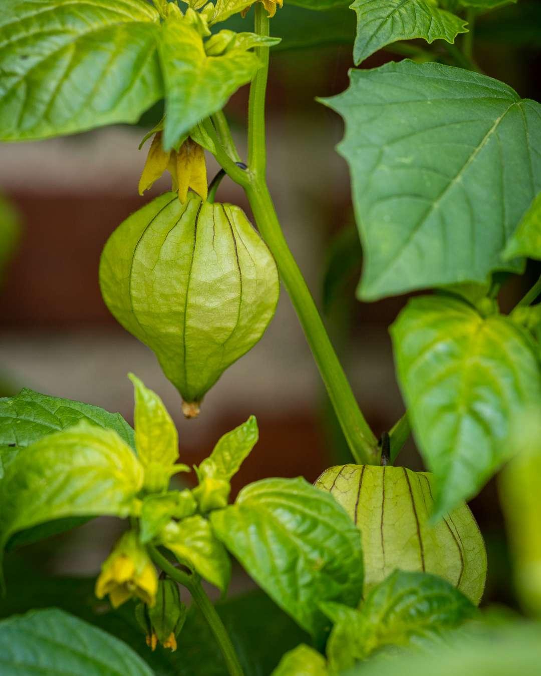 Den spøjse tomatillo er uundværlig i det mexicanske køkken