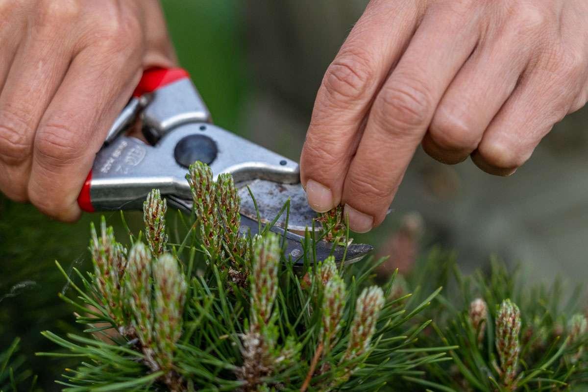 Havearkitekt Jeanette Thysen klipper 'lysene' af en dværgfyr i podcast'en Kærlighed til haven