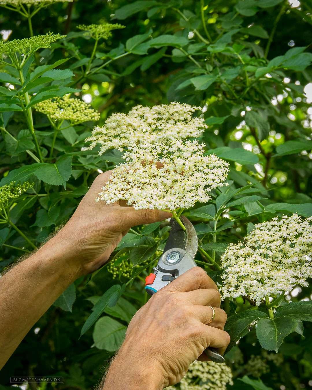 friske hyldeblomster plukkes til hjemmelavet hyldeblomst champagne