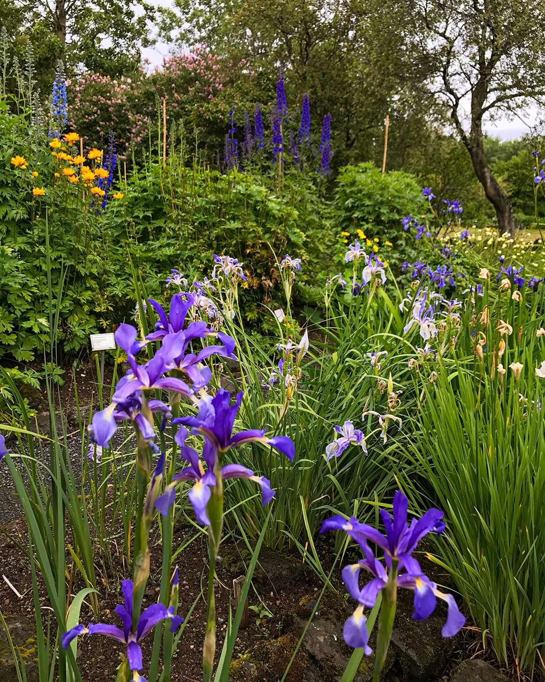 blomstrende iris og andre stauder i reykjavik botaniske have
