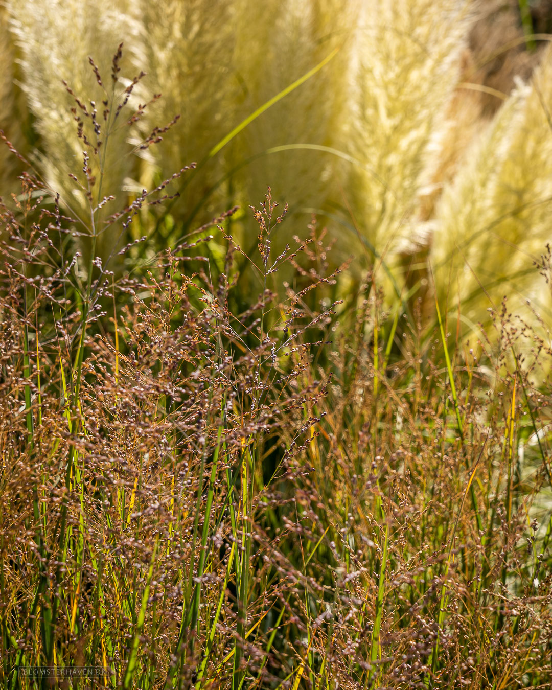 Staudehirse - Panicum virgatum Prairie Sky