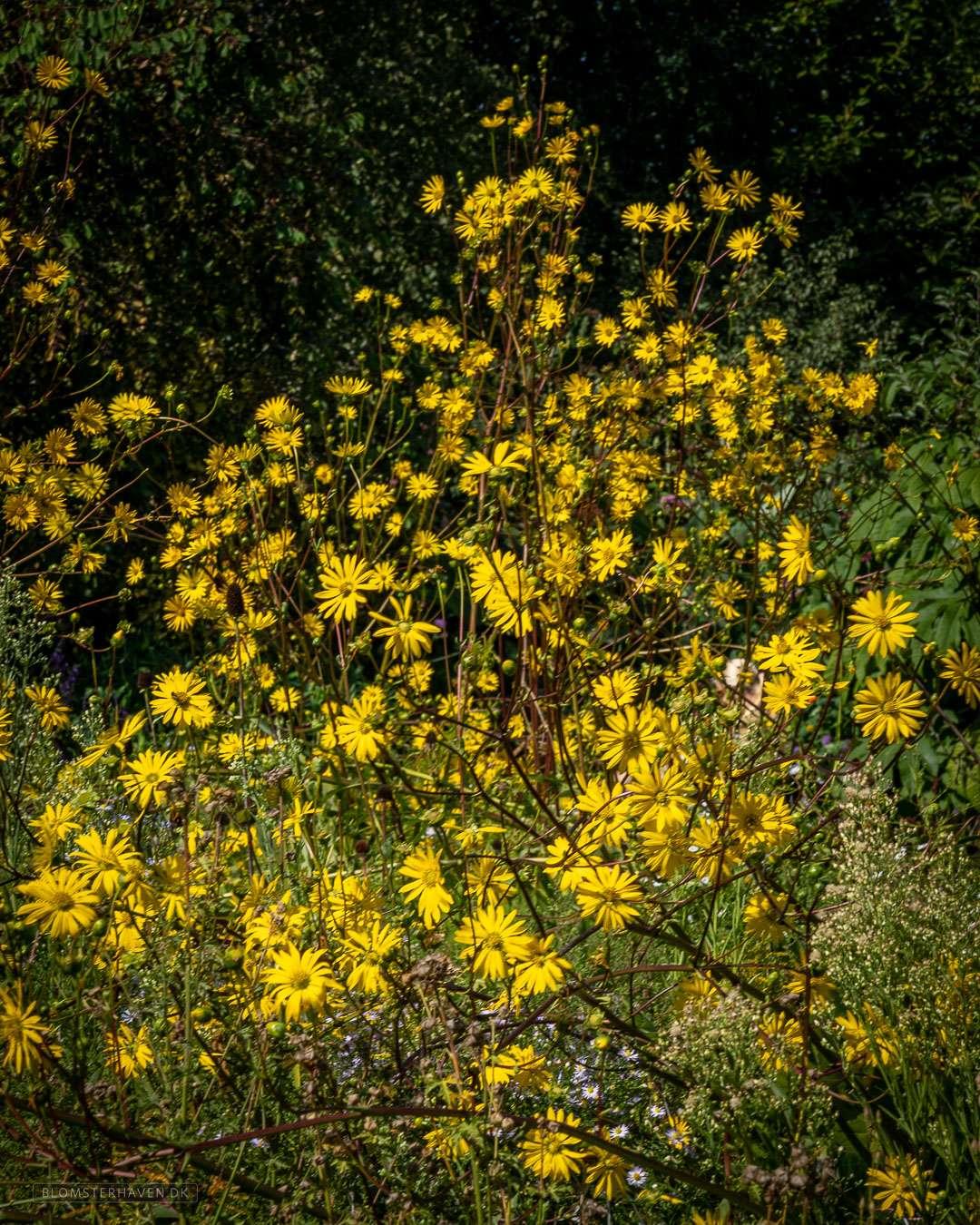 Pilebladet solsikke, Helianthus salicifolius får smukke gule blomster og bliver op til 2 meter høj