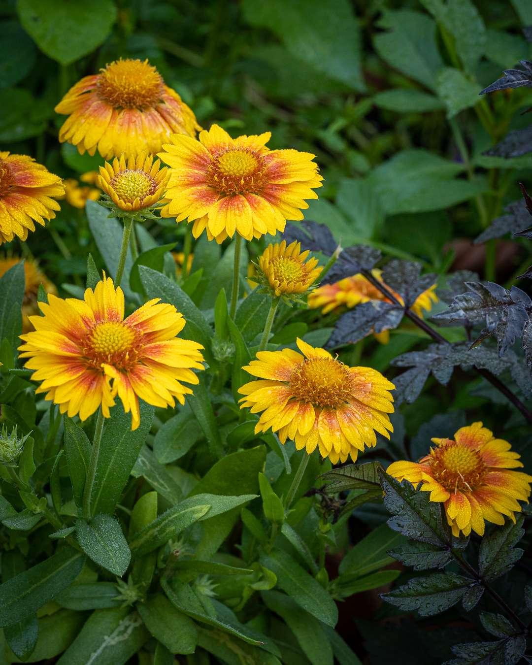 stor kokarde har både gul og orange farver i blomsten