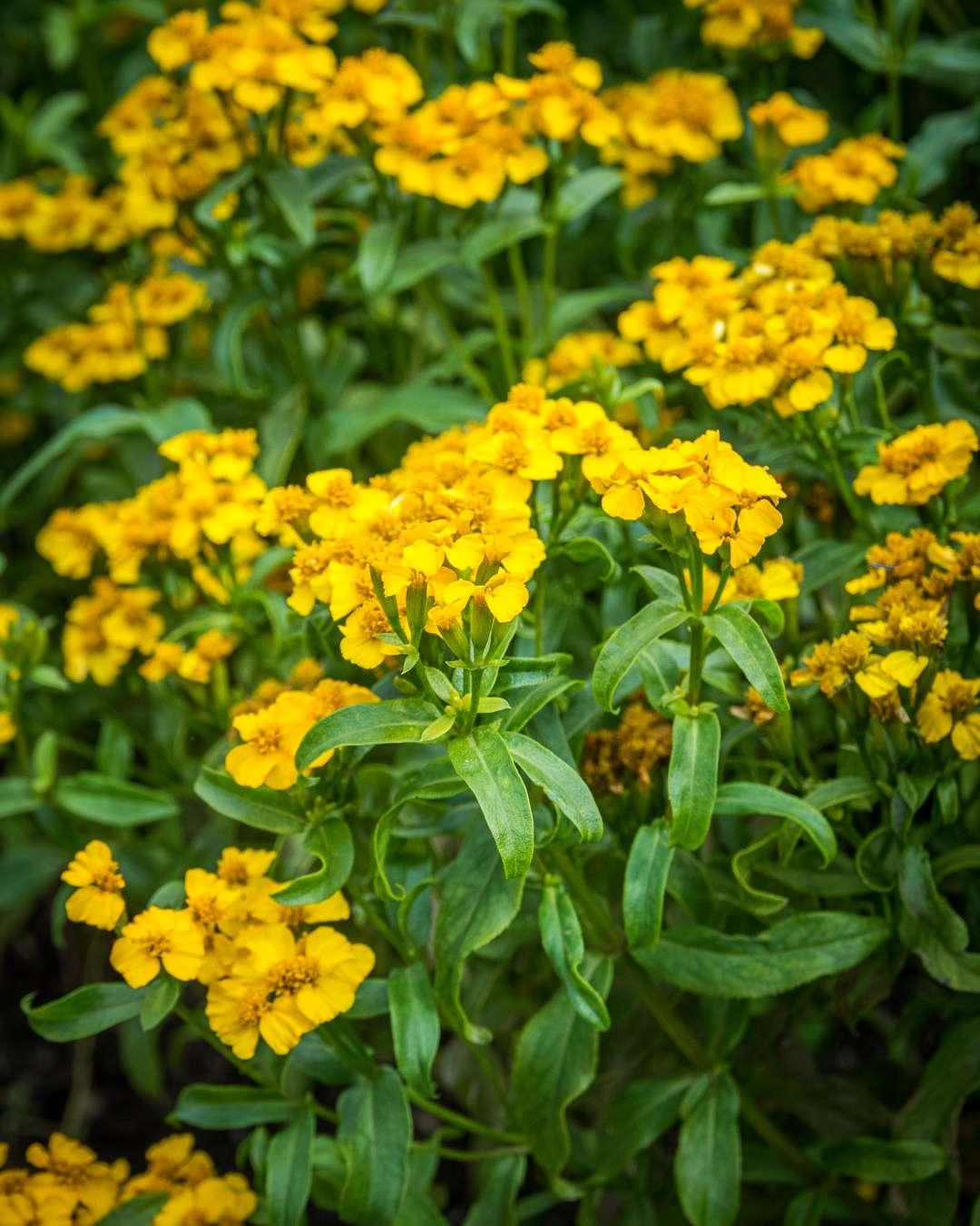 lakridstagetes med gul farve og skøn duft