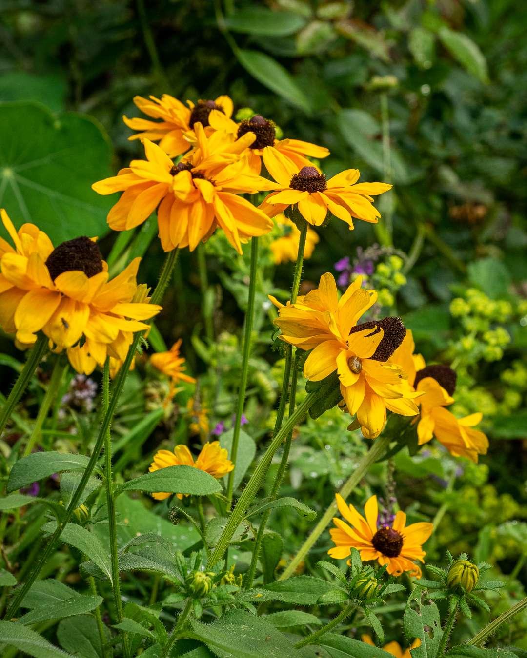 solhat bringer gule farver i haven