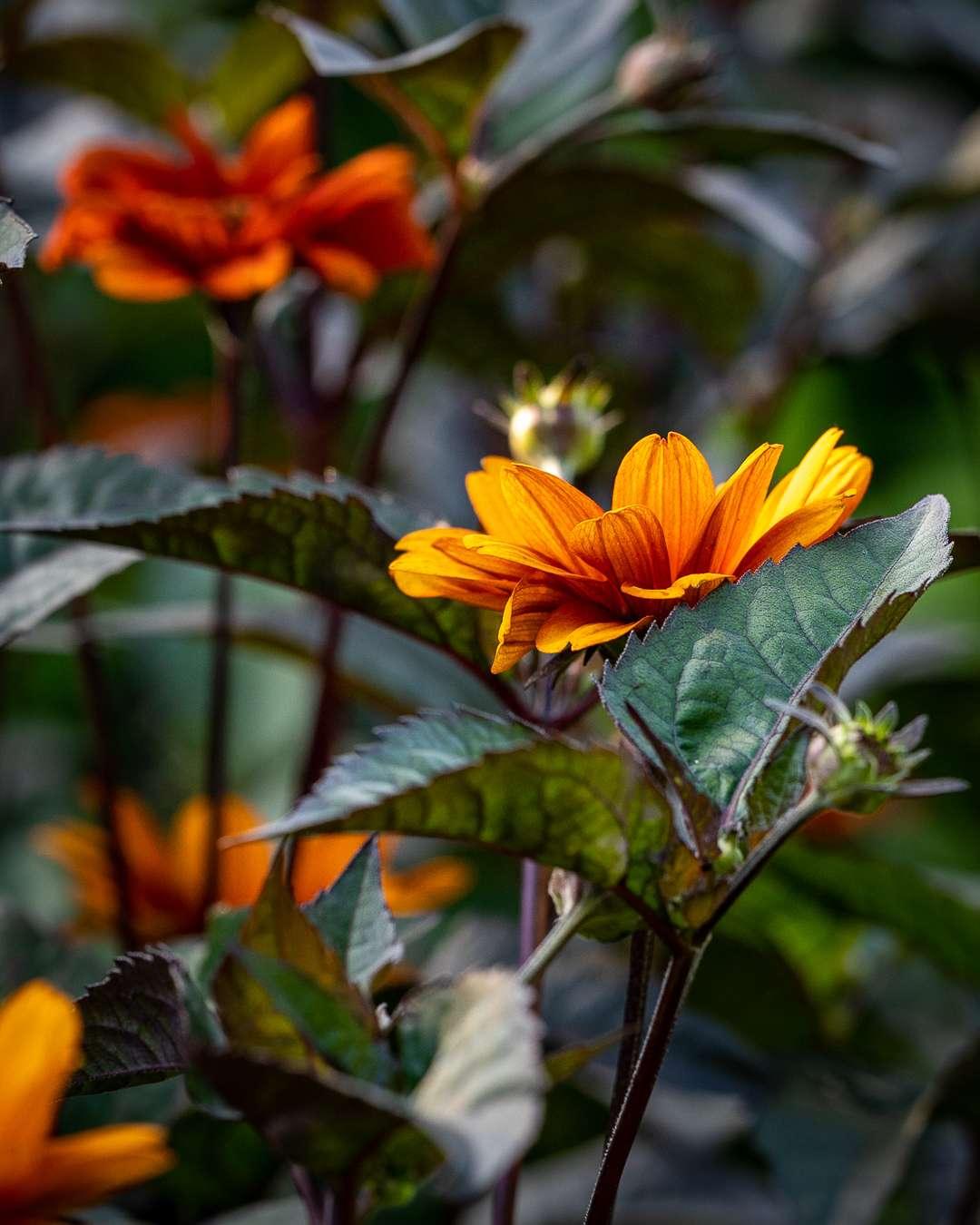 orange dagøje med mørkt løv