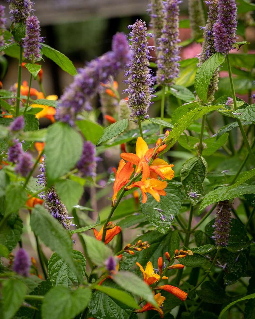 orange montbretia i haven