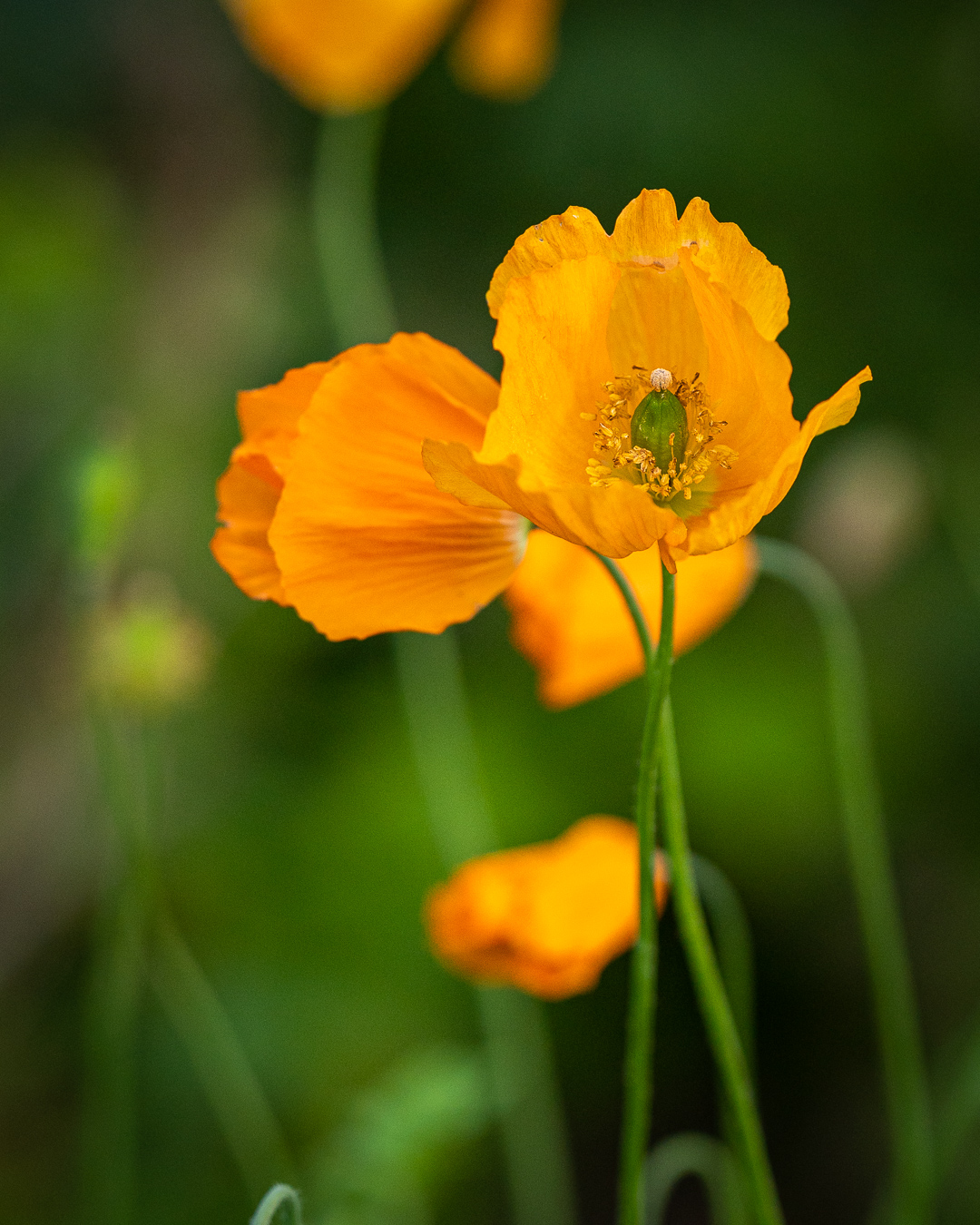 orange valmuesøster i haven