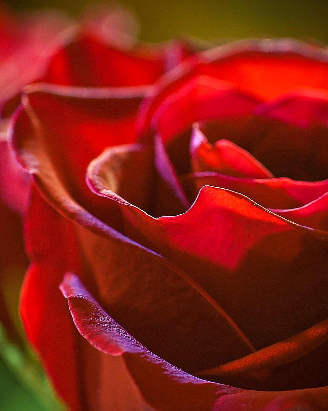 Rød rose sætter temperementet i vejret