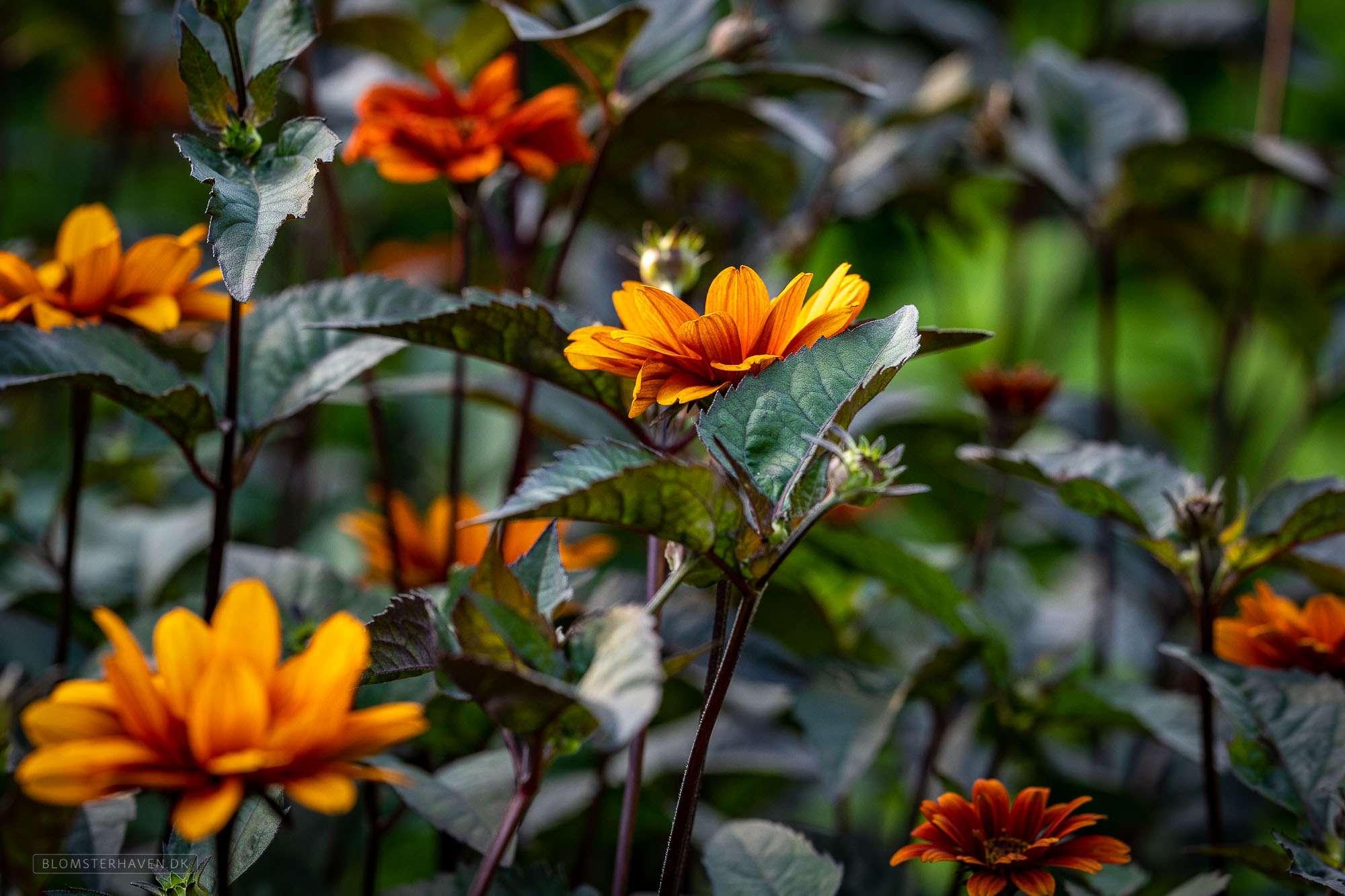 Kradse farver i haven