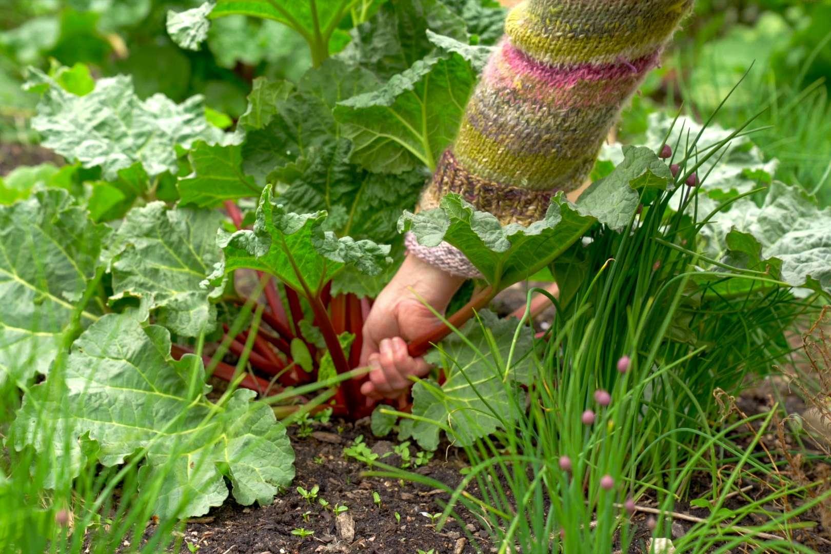 Rabarber fra episoden Din spiselige have i maj